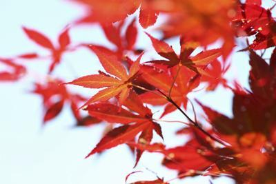 Japanese Maple, Maple Leaves, Acer Palmatum
