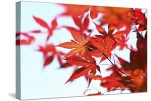 Japanese Maple, Maple Leaves, Acer Palmatum by Sweet Ink