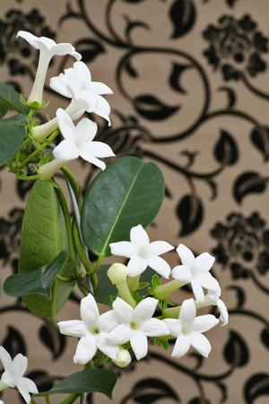Madagascar Jasmine or Waxflower, Blossoms, Indoor Plant, Climbing Plant