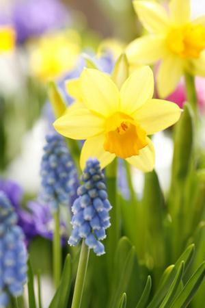 Narcissi, Daffodils, Grape Hyacinths