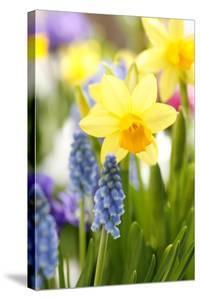 Narcissi, Daffodils, Grape Hyacinths by Sweet Ink