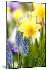 Narcissi, Daffodils, Grape Hyacinths by Sweet Ink