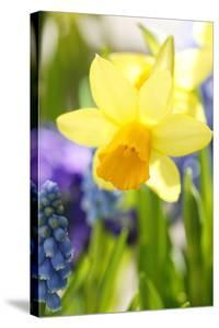 Narcissus, Daffodil, Grape Hyacinth by Sweet Ink