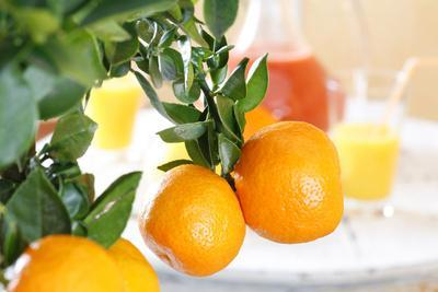 Orange Tree, Branch with Fruits, Citrus Mitis Calamondin