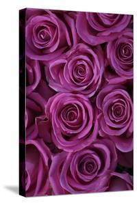 Pink Coloured Rose Blooms, Rose, Pink, Rosaceae by Sweet Ink