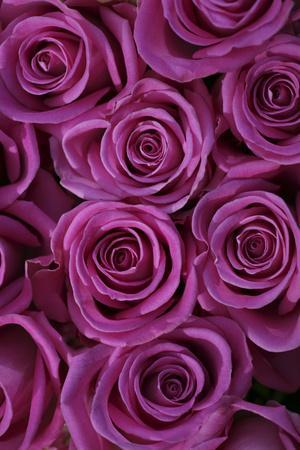 Pink Coloured Rose Blooms, Rose, Pink, Rosaceae