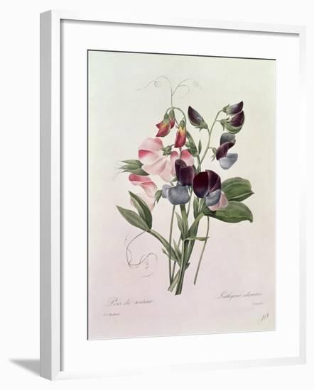 Sweet Peas (Lathyrus Odoratur) from 'Choix Des Plus Belles Fleurs', 1827-33-Pierre-Joseph Redouté-Framed Giclee Print