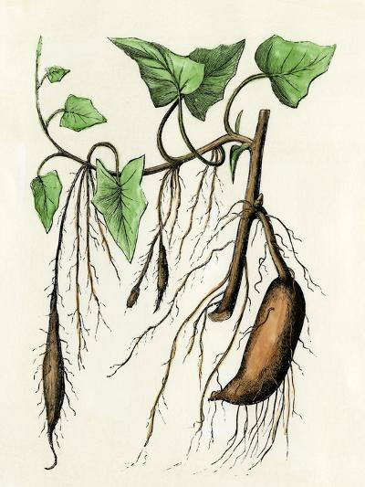 Sweet Potato Plant, a Tropical Vine with an Edible Tuberous Root--Giclee Print