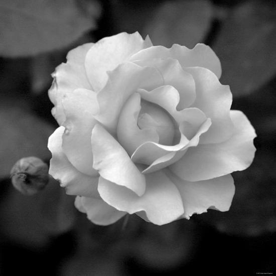 Sweet Rose II-Nicole Katano-Photo