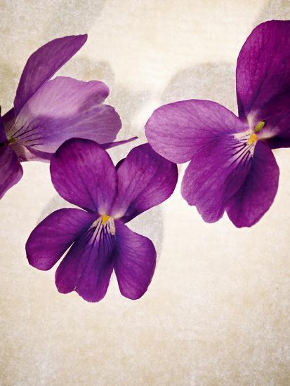Sweet Violets, Violets, Viola Odorata, Blossoms, Violet-Axel Killian-Photographic Print