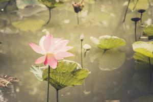 Lotus or Water Lily Flower Vintage by SweetCrisis