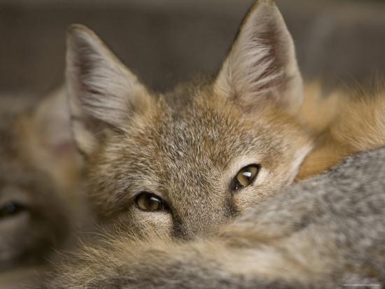 Swift Fox at the Omaha Zoo, Nebraska-Joel Sartore-Photographic Print