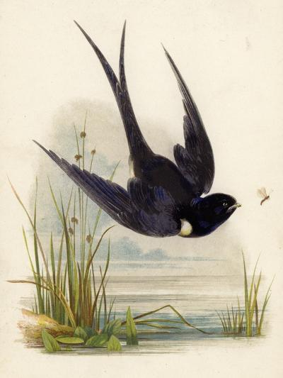 Swift--Giclee Print