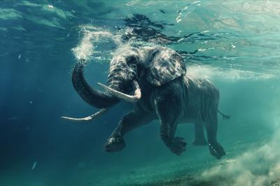 https://imgc.artprintimages.com/img/print/swimming-elephant-underwater-african-elephant-in-ocean-with-mirrors-and-ripples-at-water-surface_u-l-q19yun60.jpg?p=0