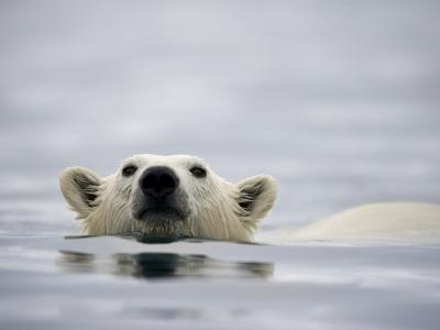Swimming Polar Bear at Half Moon Island in Svalbard-Paul Souders-Photographic Print