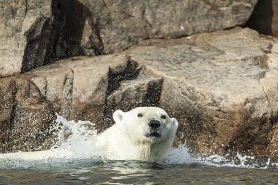 Swimming Polar Bear, Hudson Bay, Nunavut, Canada-Paul Souders-Photographic Print