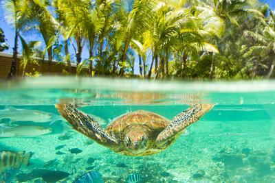 https://imgc.artprintimages.com/img/print/swimming-with-a-green-sea-turtle-and-tropical-fish-at-the-le-meridien-resort_u-l-poku5u0.jpg?p=0