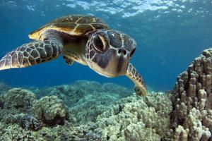 Hawaiian Green Sea Turtle by Swims with Fish