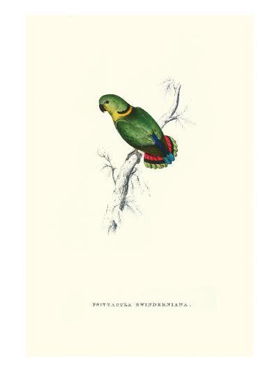 Swindern's Parakeet - Agapornis Swindernianus-Edward Lear-Art Print