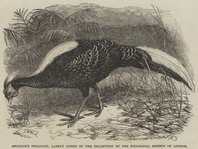 Swinhoe's Pheasant, Lately Added to the Collection of the Zoological Society of London-Thomas W. Wood-Giclee Print