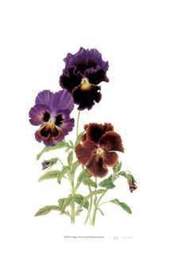 Swiss Giant Chalon Pansies-Pamela Stagg-Collectable Print