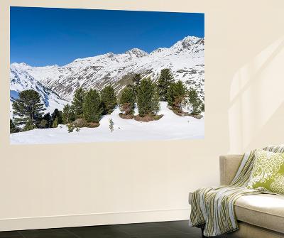 Swiss Pine, Mt Wildspitze, Oetztal Alps, Vent, Tyrol, Austria-Martin Zwick-Giant Art Print