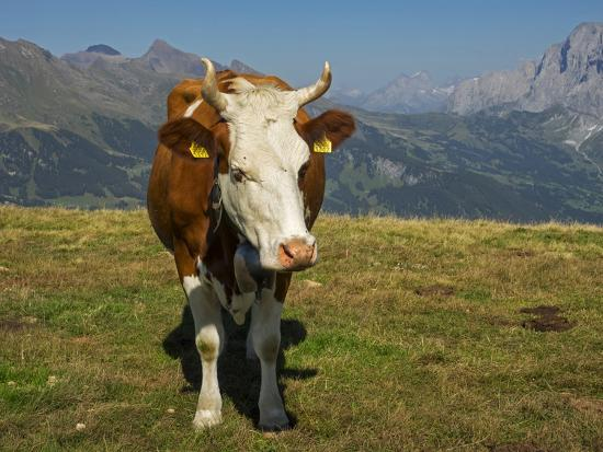 Switzerland, Bern Canton, Mannlichen Area, Swiss Cow in Alpine Setting-Jamie And Judy Wild-Photographic Print