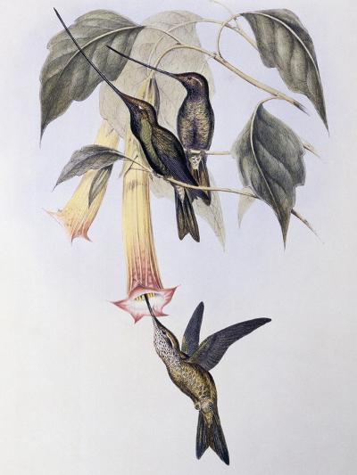 Sword-Billed Humming Bird (Docimastes Ensiferus)-John Gould-Giclee Print