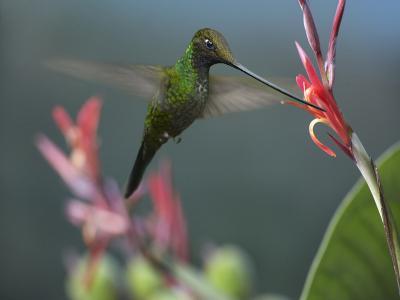 Sword-Billed Hummingbird Feeding at a Flower-Tim Fitzharris-Photographic Print