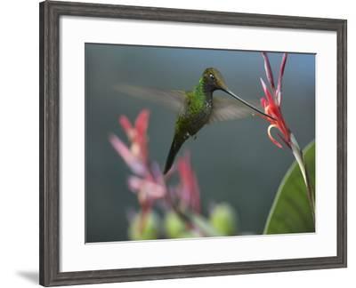 Sword-Billed Hummingbird Feeding at a Flower-Tim Fitzharris-Framed Photographic Print