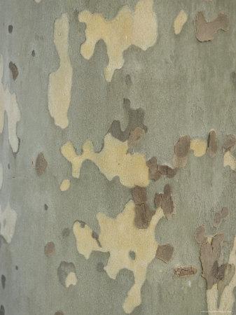 https://imgc.artprintimages.com/img/print/sycamore-trees-in-st-louis_u-l-p2ysmx0.jpg?p=0
