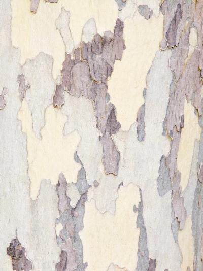 Sycamore Trunk Detail, Sedona, Arizona, USA-Rob Tilley-Photographic Print