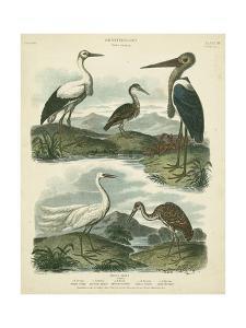 Heron & Crane Species I by Sydenham Teast Edwards
