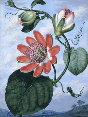 The Winged Passion Flower