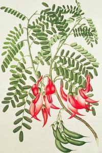 Clianthus Puniceus, Plate 432 from 'Banks' Florilegium', Gathered from North Island, New Zealand,… by Sydney Parkinson