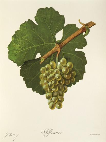 Sylvaner Grape-J. Troncy-Giclee Print