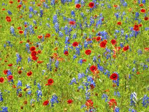 Blanket flowers and bluebonnets. Texas Hill Country, north of Buchanan Dam by Sylvia Gulin
