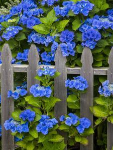 Blue hydrangea along fence garden. Cannon Beach, Oregon by Sylvia Gulin