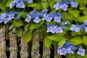 Blue hydrangea along fence gardens of Cannon Beach, Oregon by Sylvia Gulin