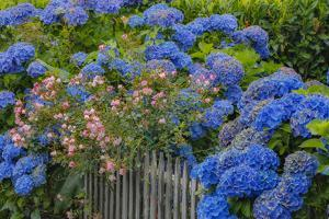 Blue hydrangea and Rose bush along fence gardens of Cannon Beach, Oregon by Sylvia Gulin