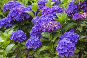 Blue hydrangea flowers in gardens of Cannon Beach, Oregon by Sylvia Gulin