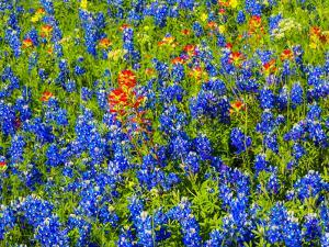 Bluebonnets and Indian paintbrush near Brenham, Texas by Sylvia Gulin