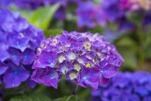 Close-up of blue hydrangea flowers in garden. Cannon Beach, Oregon by Sylvia Gulin