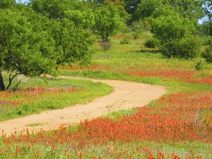 Dirt road lined with Indian paintbrush along Old Spanish Trail near Buchanan Dam Texas Hill Country by Sylvia Gulin
