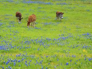 Donkey in field of bluebonnets near Llano Texas by Sylvia Gulin