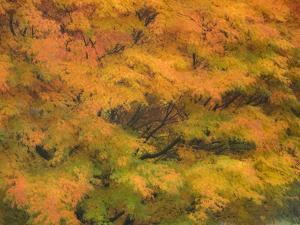 Fall colors in golden leaves of bigleaf maple with a soft focus look by Sylvia Gulin