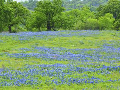 Field of bluebonnets and oak trees north of Llano Texas on Highway 16