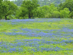 Field of bluebonnets and oak trees north of Llano Texas on Highway 16 by Sylvia Gulin