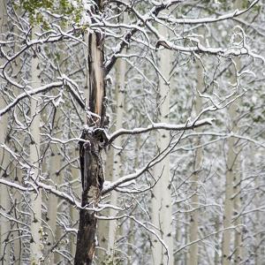 Fresh late summer snow on Aspen trees, Banff National Park, Alberta, Canada by Sylvia Gulin