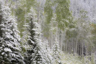 Fresh late summer snow on Evergreen trees, Banff National Park, Alberta, Canada
